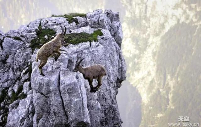 """殊死一搏!两山羊悬崖边搏斗另一只围观 """"掉落瞬间""""吓傻摄影师"""