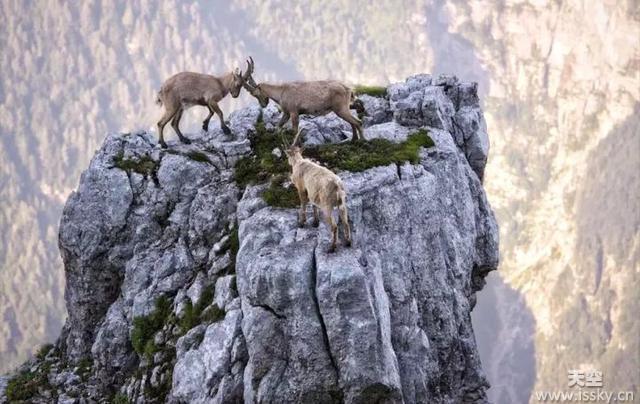 殊死一搏!两山羊悬崖边搏斗另一只围观